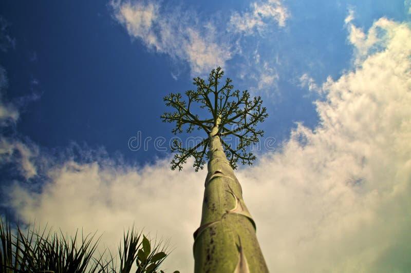 龙舌兰反对多云天空的花茎剧烈的看法  库存照片