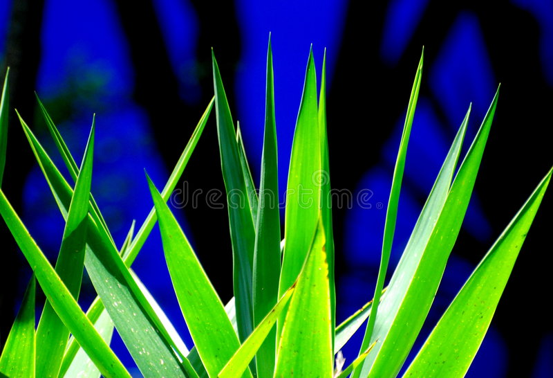龙舌兰叶子 库存图片