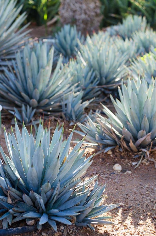 龙舌兰植物、棕榈和多汁植物在热带庭院里 库存照片