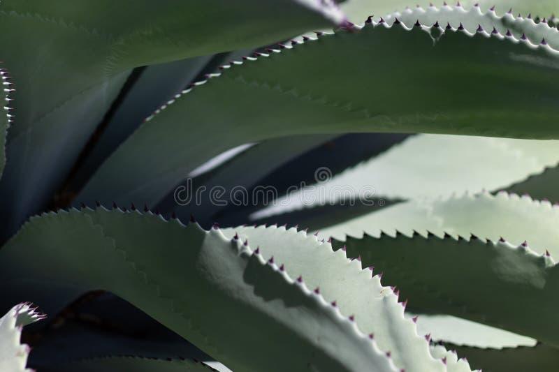 龙舌兰植物侧视图  免版税库存照片