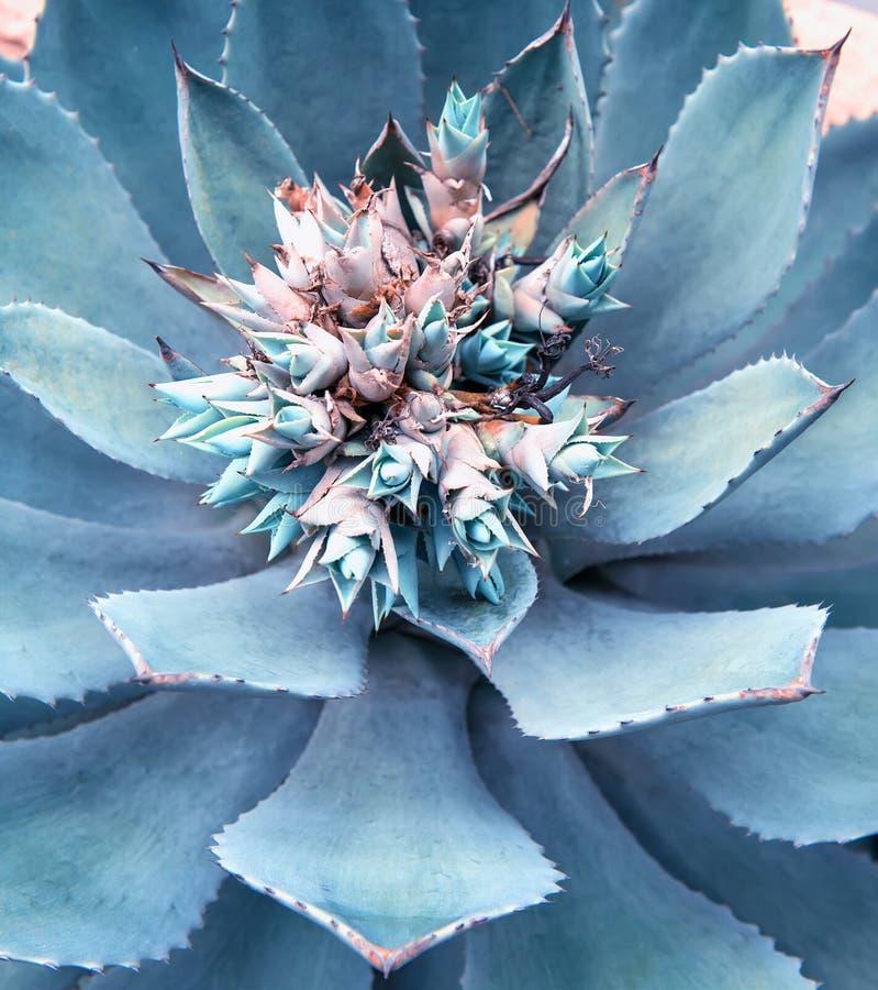 龙舌兰植物叶子 免版税库存照片