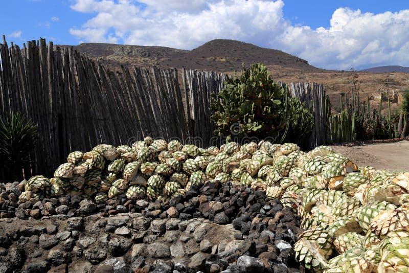 从龙舌兰的Th牡鹿做的酶斯卡尔酒或Mezcal在墨西哥,瓦哈卡 库存图片
