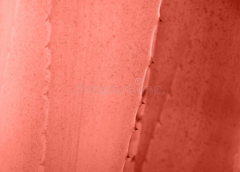 龙舌兰离开与刺背景在居住的珊瑚颜色 Thorned龙舌兰特写镜头 抽象仙人掌背景 图库摄影