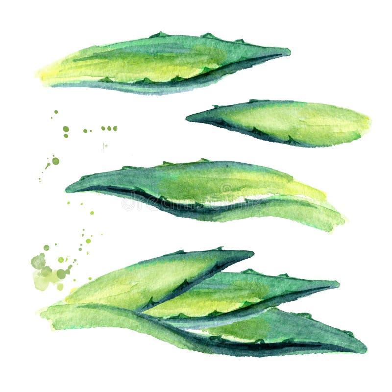 龙舌兰被设置的植物叶子 手拉的水彩例证,隔绝在白色背景 皇族释放例证