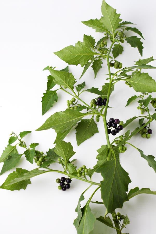 龙葵,开花,果子,叶子,含毒植物 免版税库存照片