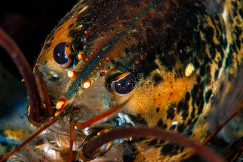 龙虾在Perce 库存照片