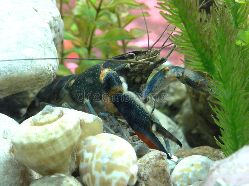 龙虾 免版税图库摄影