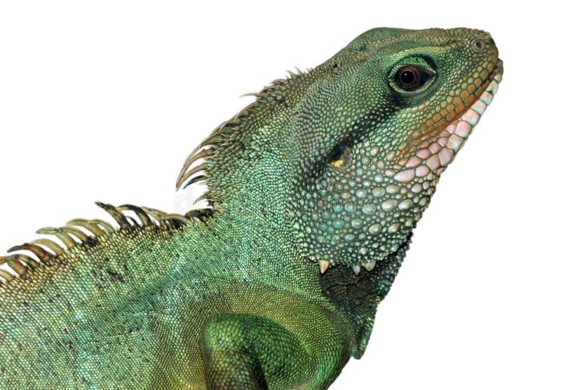 龙蜥蜴东方人水 免版税图库摄影