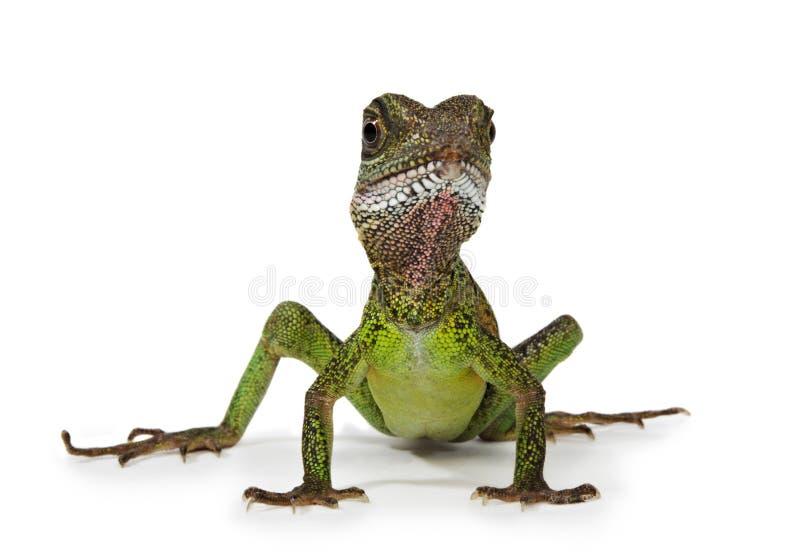 龙蜥蜴水 库存图片