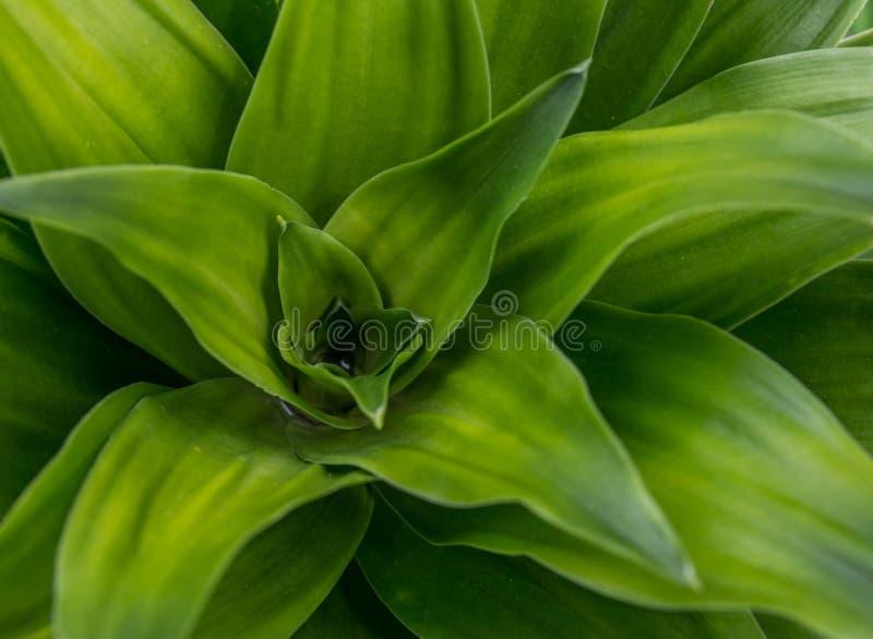龙血树属植物技巧 图库摄影
