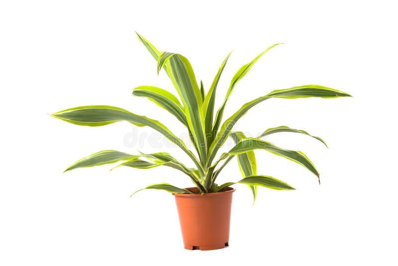龙血树属植物柠檬石灰 免版税库存图片