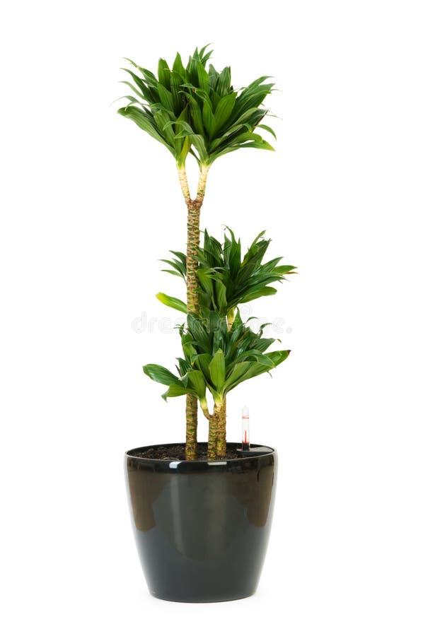 龙血树属植物查出的工厂 库存图片