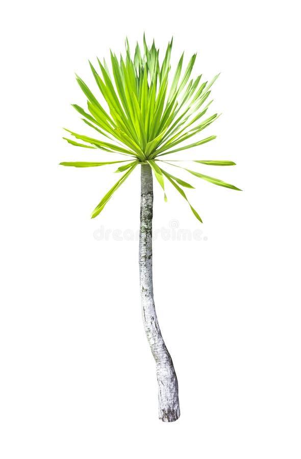 龙血树属植物被隔绝的Loureiri Gagnep树 图库摄影
