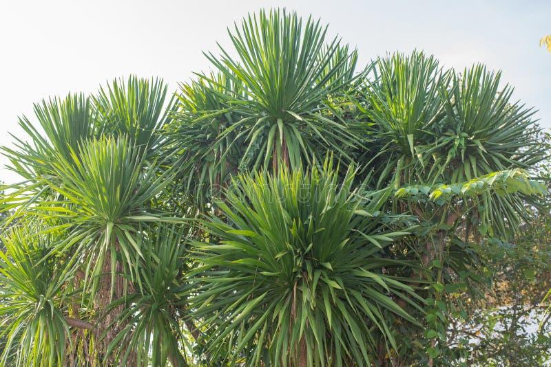 龙血树属植物loureiri Gagnep 庭院装饰树 库存照片