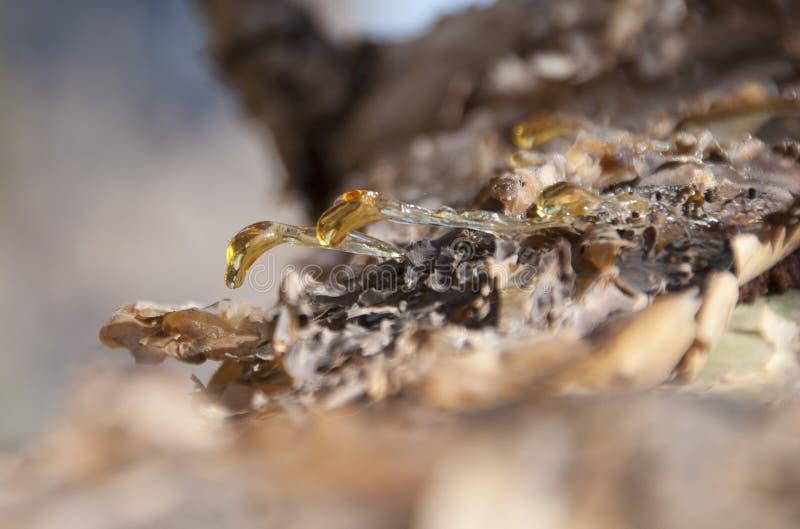 龙血树胶。 索科特拉岛 免版税库存照片