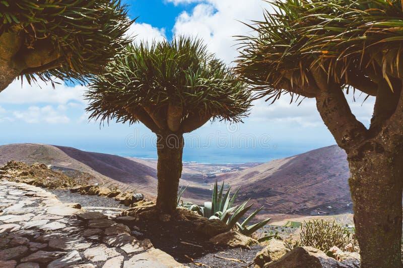 Download 龙血树(龙血树属植物)在兰萨罗特岛,西班牙山 库存图片. 图片 包括有 本质, 沙漠, 田园诗, 海洋, 海岛 - 62531819