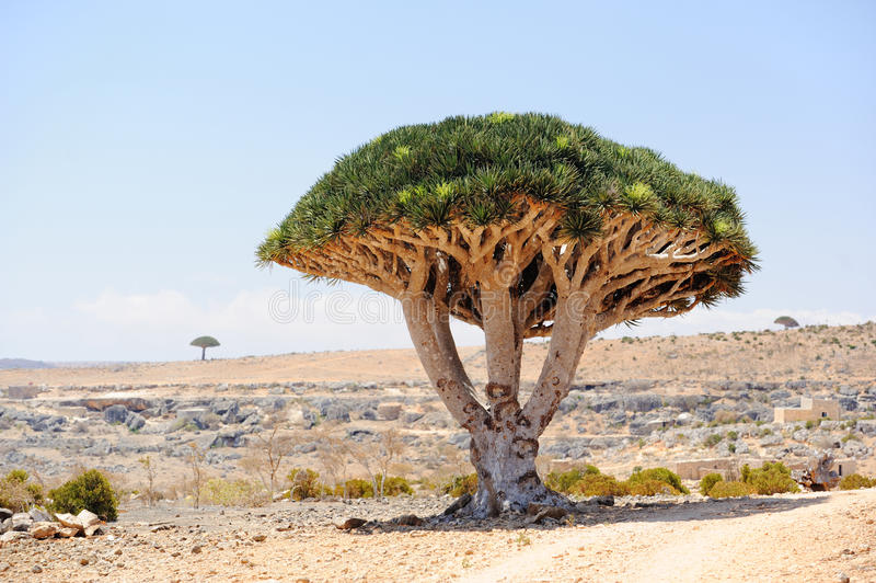 龙血树(龙血树属植物cinnabari)在索科特拉岛,也门 图库摄影