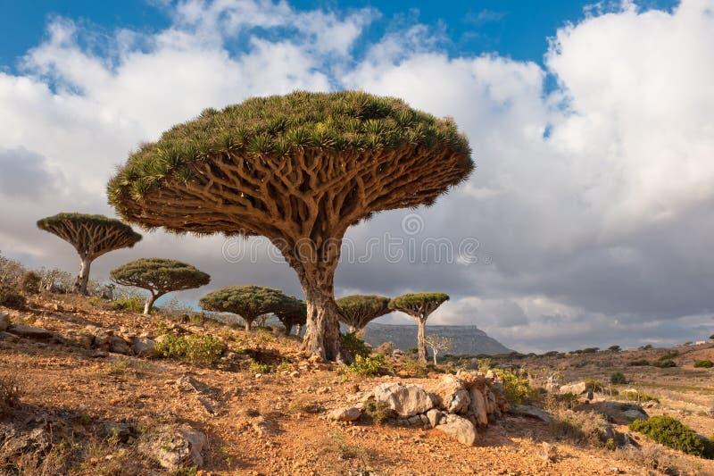 龙homhil高原索科特拉岛结构树也门 库存图片