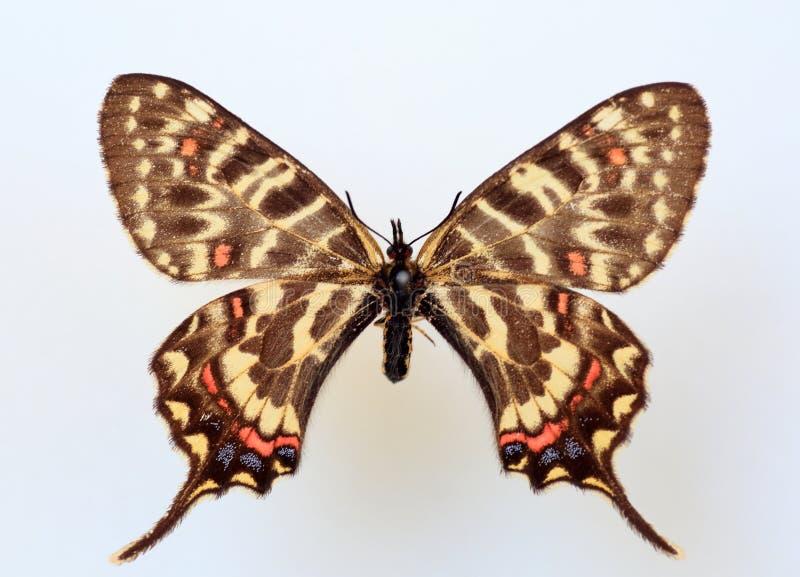 龙swallowtail 免版税库存照片