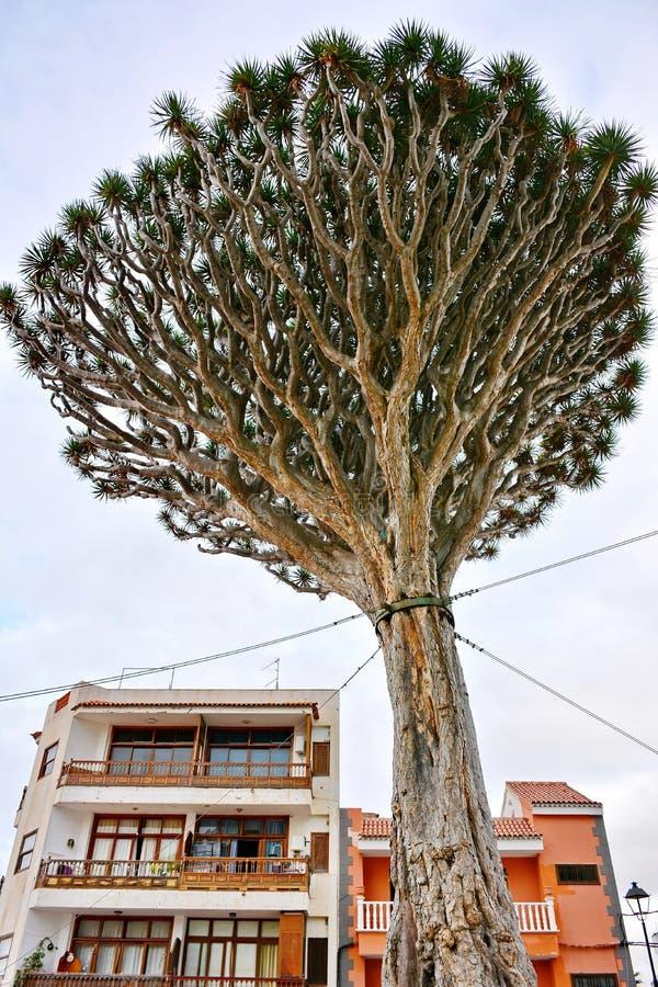 龙tenerife结构树 免版税库存照片