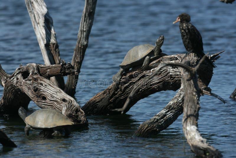 水龟和鸬鹚 免版税图库摄影