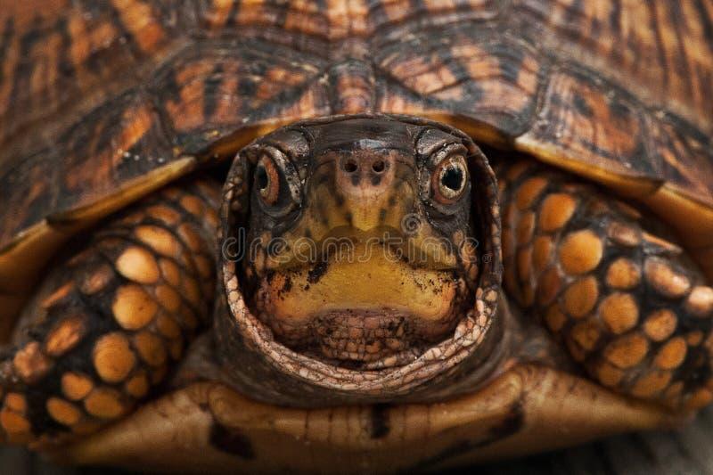 龟盒特写镜头 库存图片