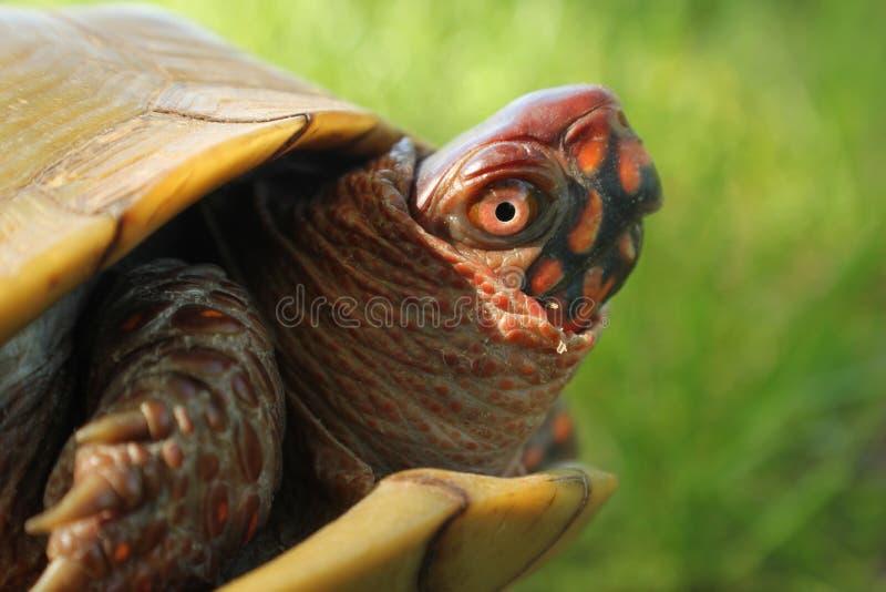 龟盒 图库摄影