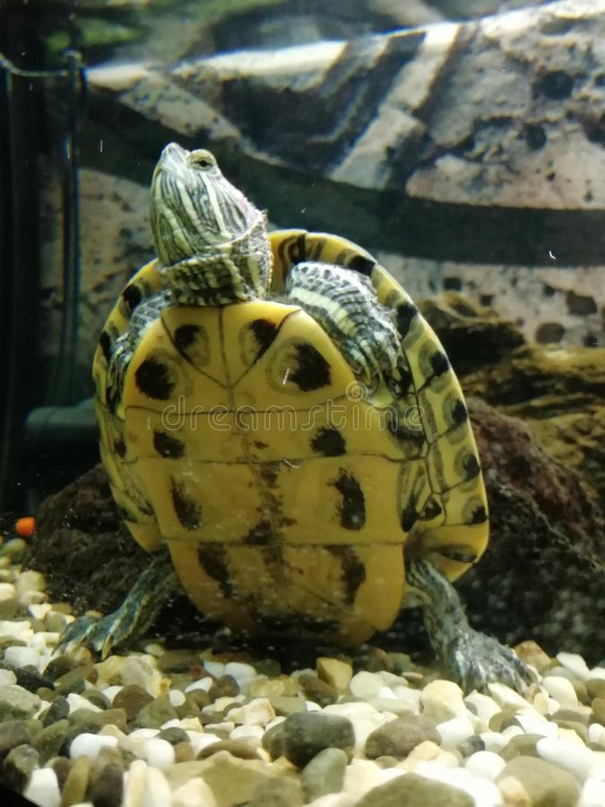 龟 动物 水族馆里 站 自然 免版税图库摄影