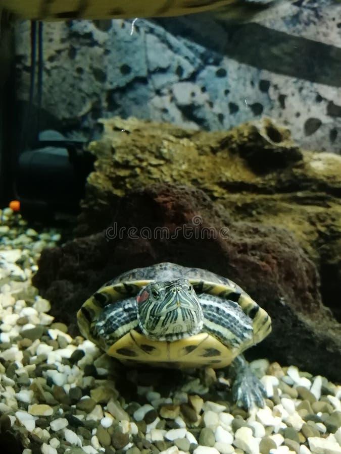 龟 水族馆 动物 自然 绿色 《在石头下》 免版税库存照片