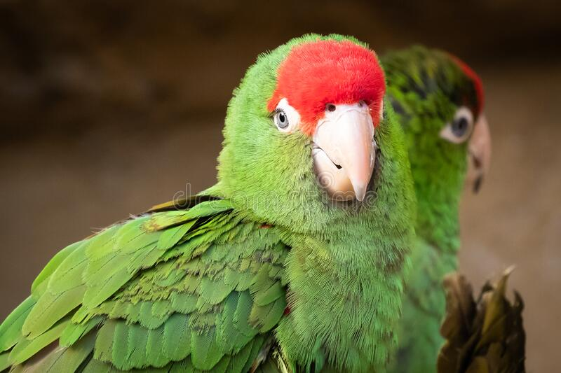 Group of parrots. Green parrots royalty free stock images