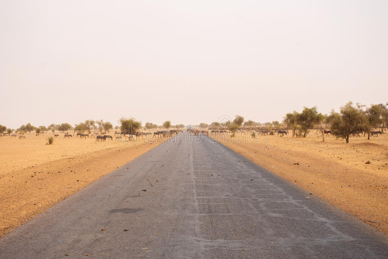 驴,穿过路在毛里塔尼亚 库存图片