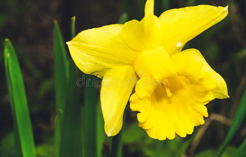 水仙,花,黄色,水仙Pseudonarcissus 库存图片