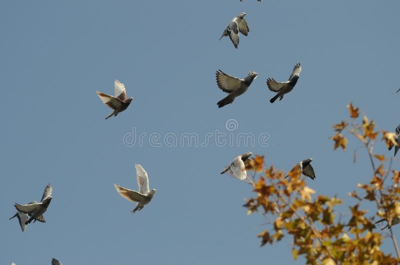 2019111010:Pigeons flying on the top of Baiwangshan Park, Beijing, China. Several pigeons flying on the top of Baiwangshan Park, Beijing, China, in November royalty free stock photography