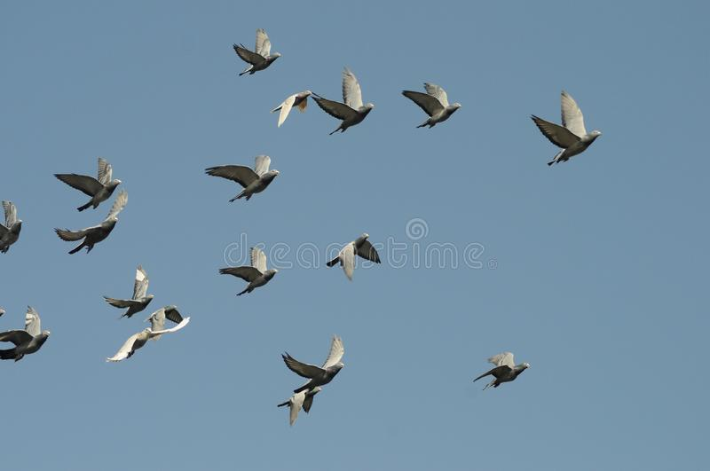 2019111011:Pigeons flying on the top of Baiwangshan Park, Beijing, China. Several pigeons flying on the top of Baiwangshan Park, Beijing, China, in November stock photos