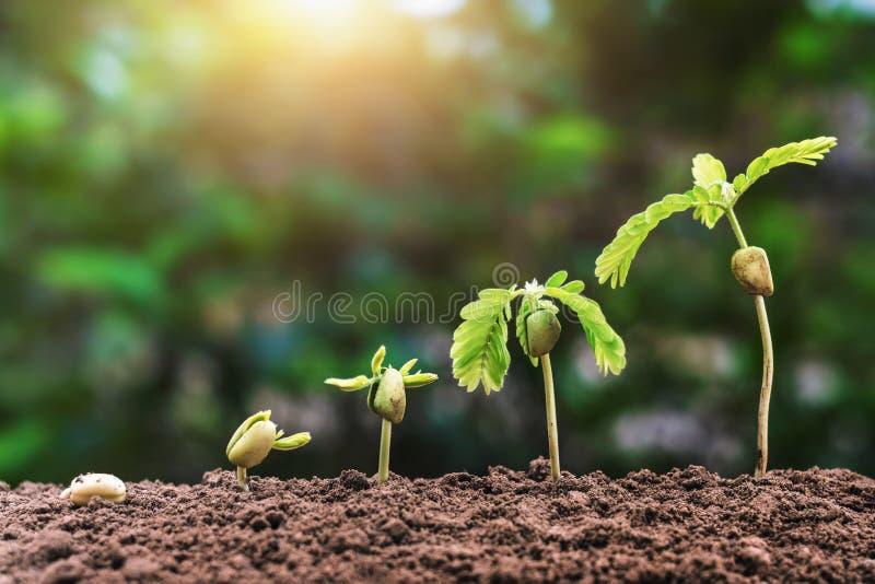 与阳光的植物种子生长步农业概念图片