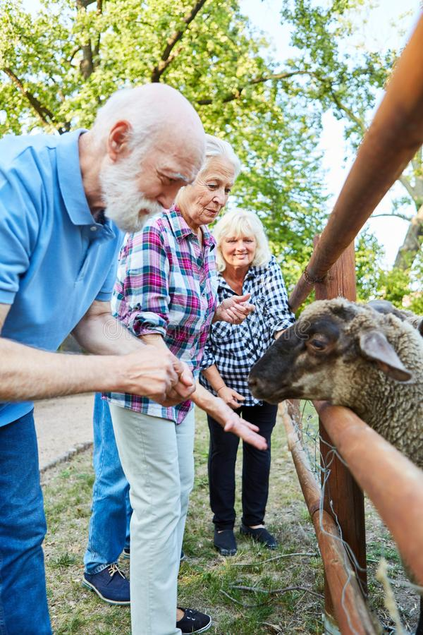 ?Seniors feeding sheep. Group of seniors feeding sheep on a farm royalty free stock photo