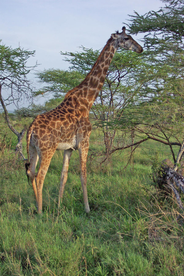 001 żyrafa fotografia royalty free