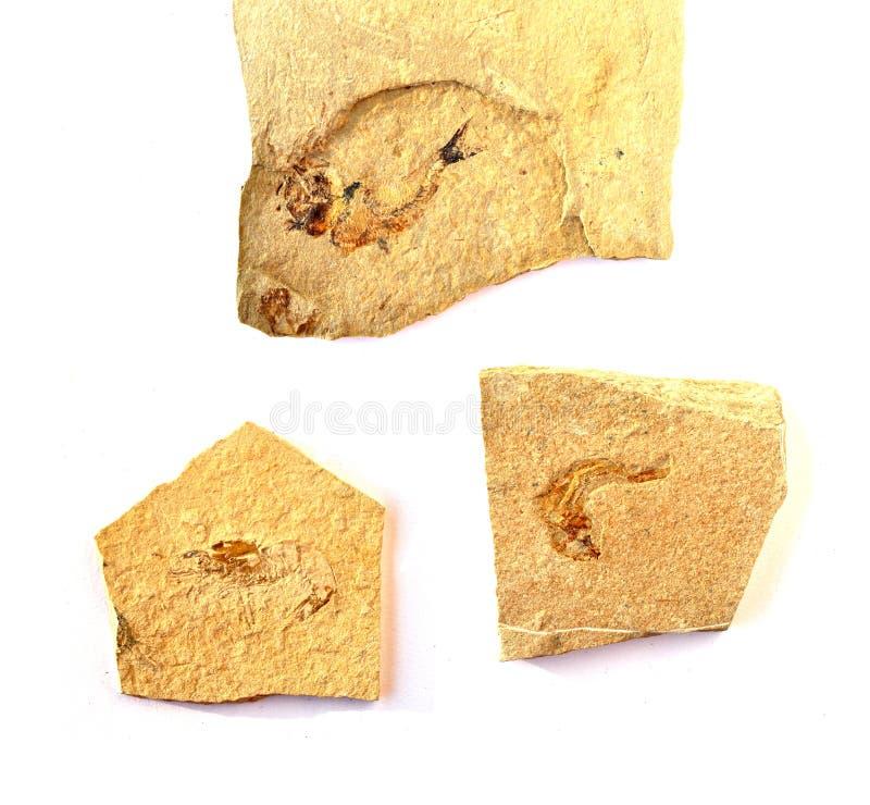 0014 fossil royaltyfri foto