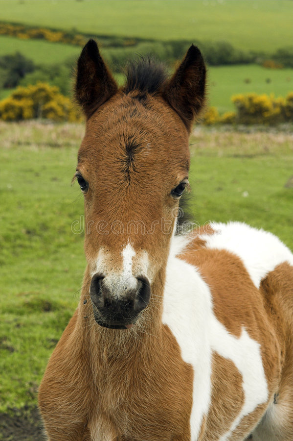 002980 dartmoor pony. Ponies like this one are very popular with visitors to the beautiful dartmoor area of Devon in the West Country of England stock photography