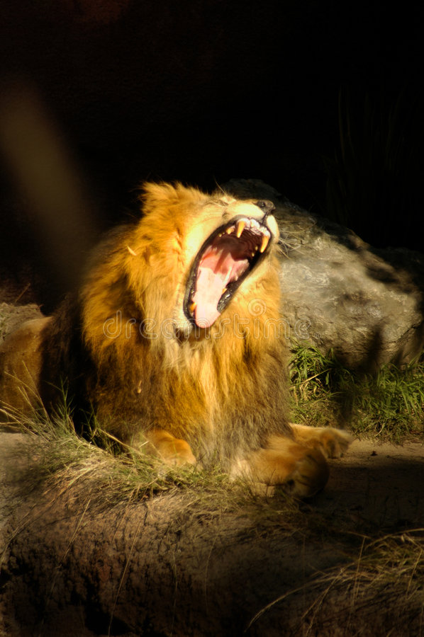0048只猫巨大的狮子吼声 免版税库存照片