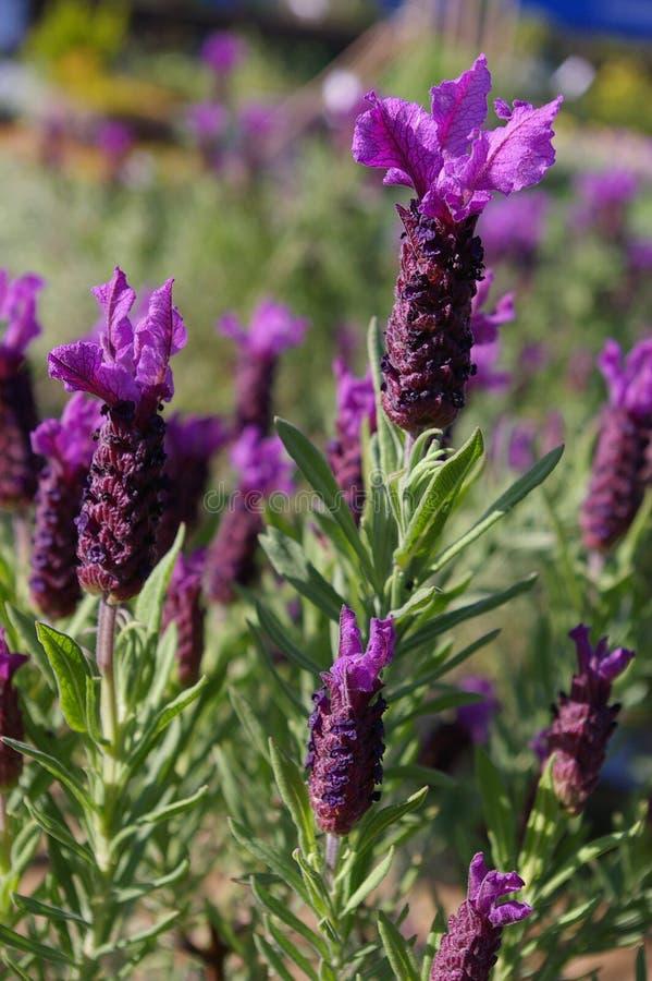 01淡紫色 库存照片