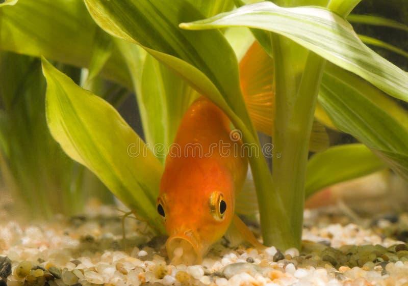 01 που τρώνε goldfish στοκ φωτογραφίες με δικαίωμα ελεύθερης χρήσης