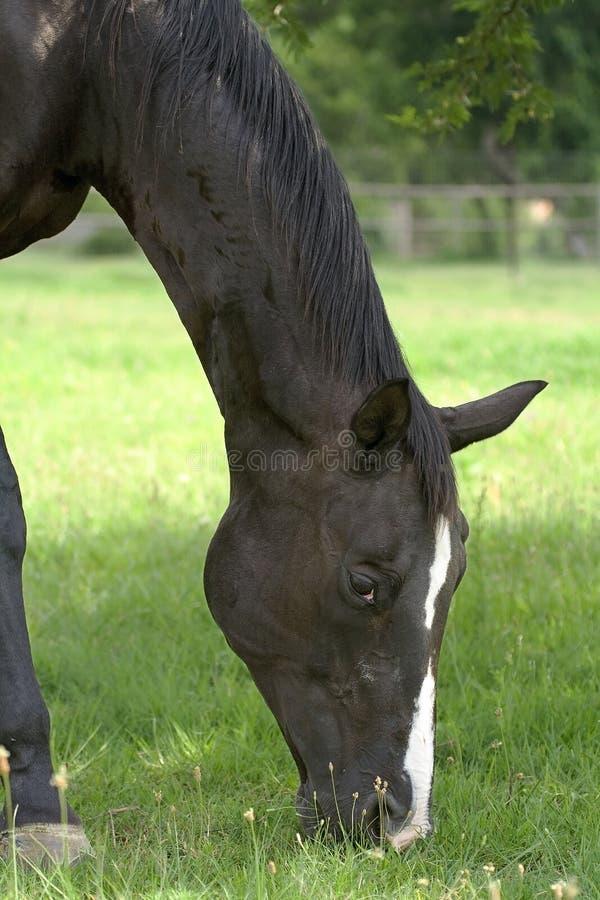 01 czarny koń fotografia royalty free