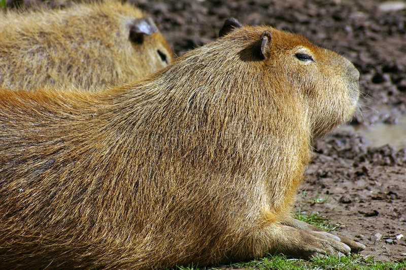 01 kapibara zdjęcie stock