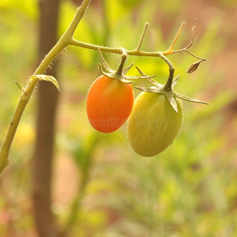 011 οργανικές ντομάτες στοκ φωτογραφίες με δικαίωμα ελεύθερης χρήσης