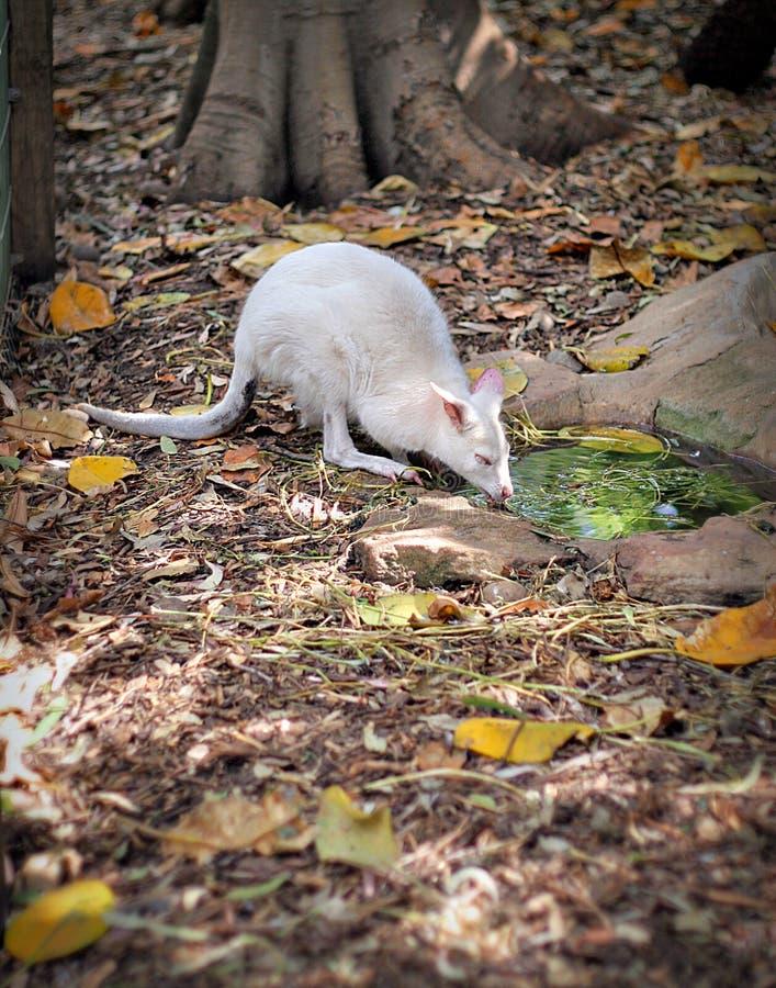 0155a白变种img tammar鼠 库存图片