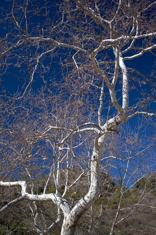02仅有的山坡结构树 库存照片