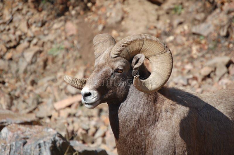 02 овцы bighorn стоковое фото rf