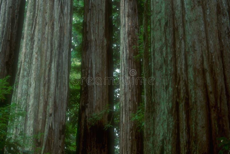 02 redwoods fotografia stock
