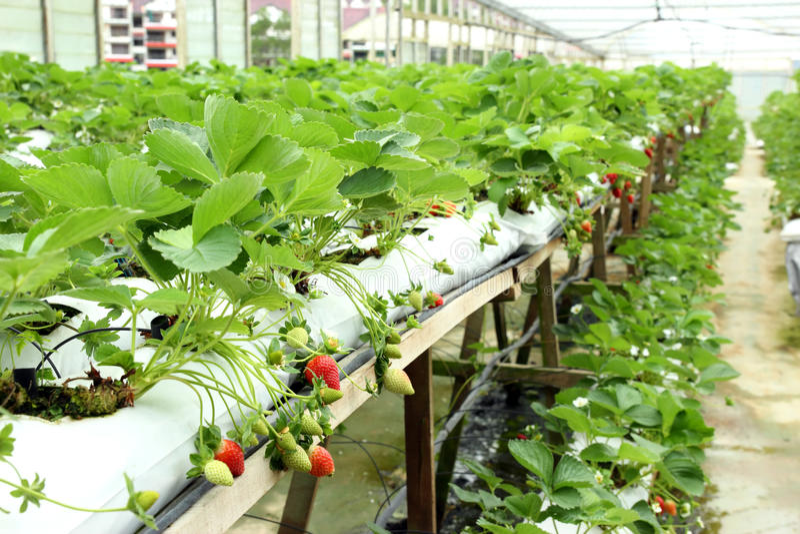 03个农厂草莓 免版税库存图片